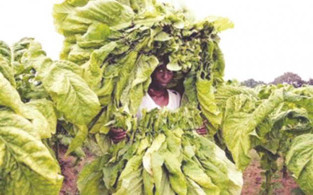 Tobacco farming in Zim: A bitter harvest