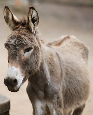 Cross-border donkey rustlers on the prowl