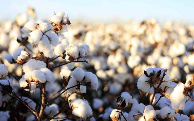 Govt extends cotton programme to Matabeleland