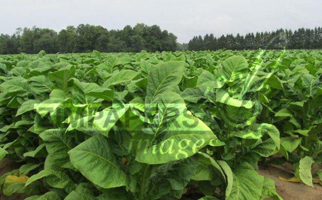 Tobacco exports  rake in $827m