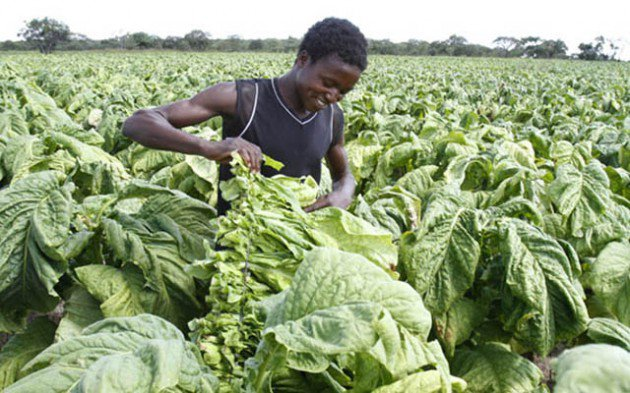Tobacco farming is a source of livelihood for many Zimbabwean farmers