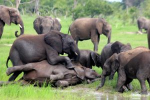 Zim Elephant Capture Petition attracts over a Quarter-of-a-Million