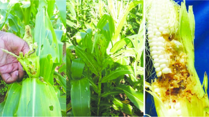 Fall armyworm infests  150 000ha of Zim maize