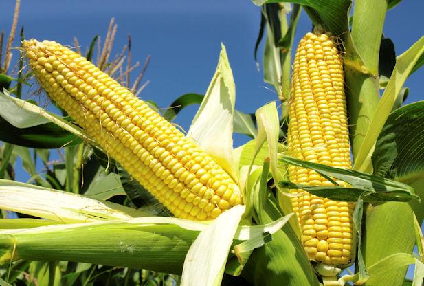 Zim faces maize output shortfall