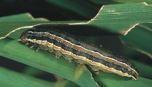 USAID moves to avert armyworm losses
