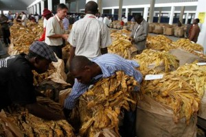 Zimbabwe urged to take action against child labour on tobacco farms