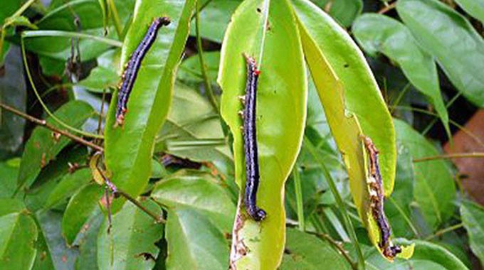 Combined effort sees army worm attacks decline