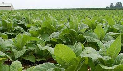 Zim children drop out of school to work on tobacco farms