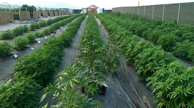 Canadian investors target 10 000ha for mbanje farming