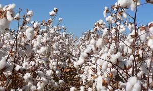 Cotton buyers offer 47c per kilo
