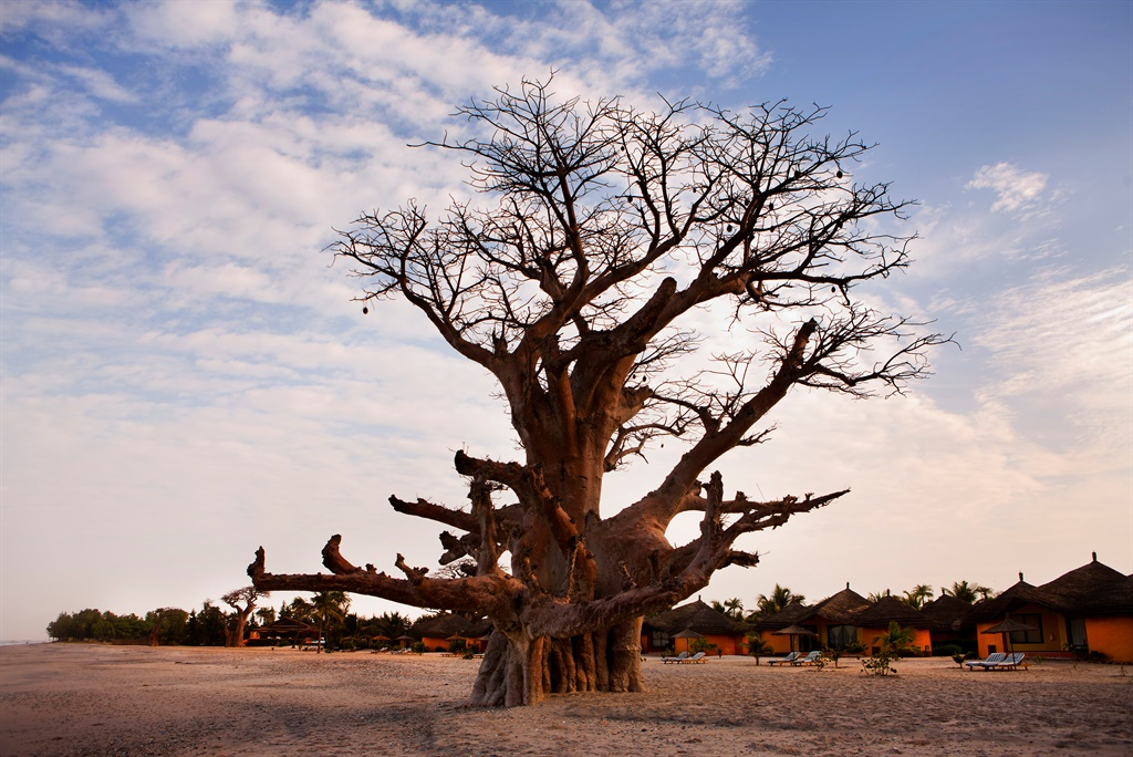 Scientists are shocked at the sudden death of most of Africa's largest baobabs