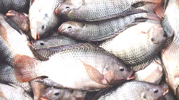 Zim aquaculture export volumes down 12pc