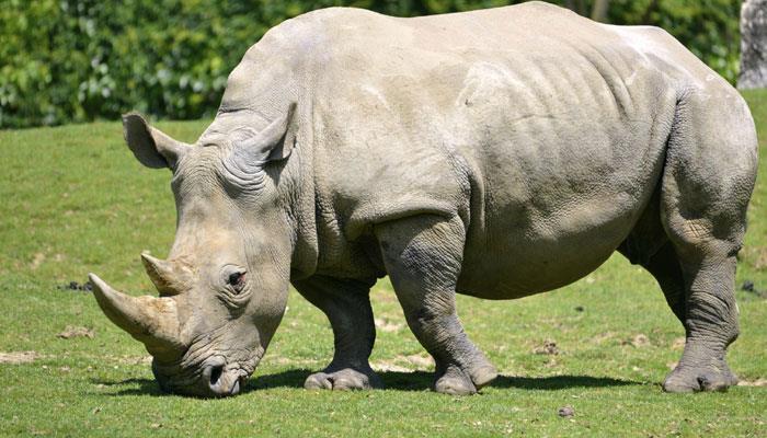 Zim donates 10 rhinos to DRC