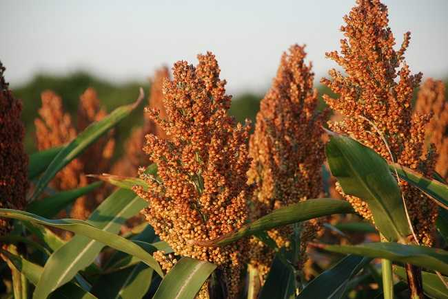 Small grains provide food security in climate change affected Gwanda