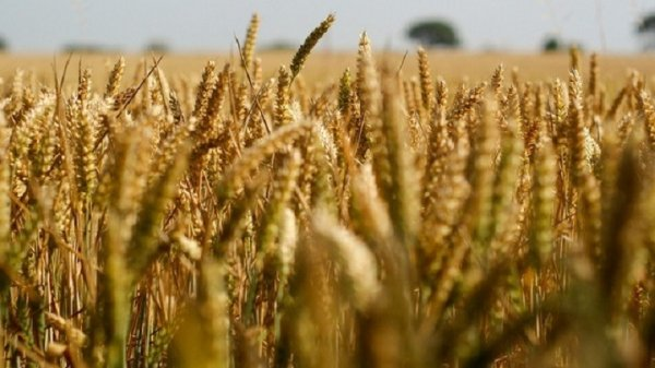 Zim plunges into wheat crisis