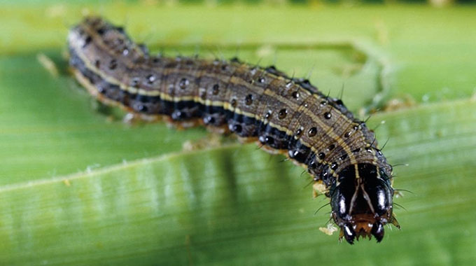Govt steps up fight against armyworm