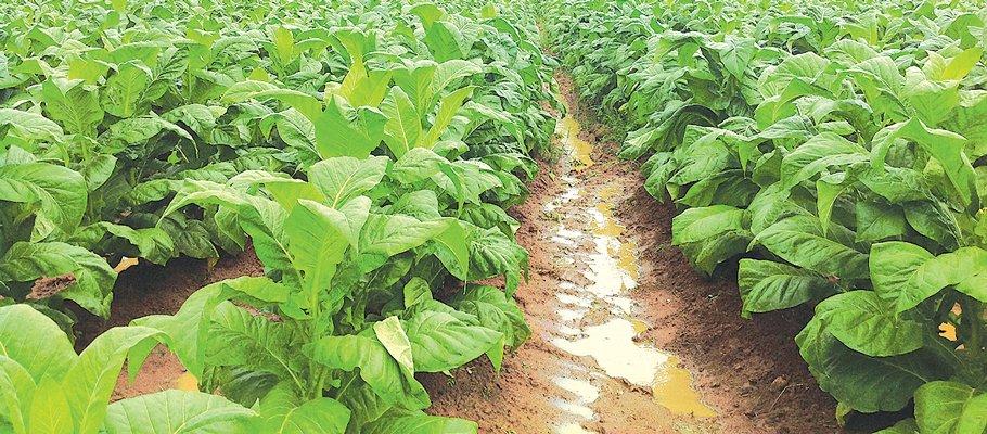 tobacco-farming.jpg
