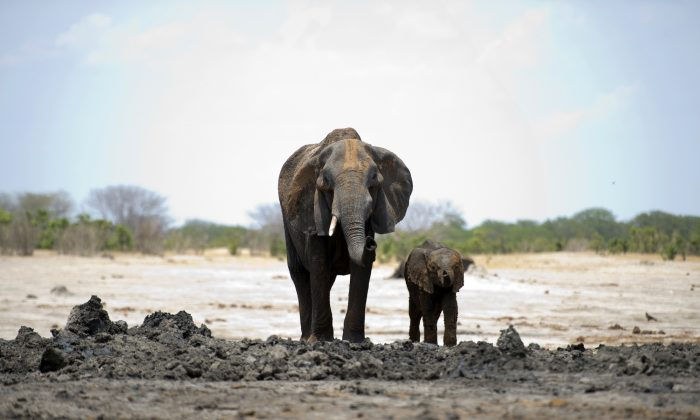 An African elephant and her baby are pictured on Nov. 18, 2012, in Hwange National Park in Zimbabwe. (Martin Bureau/AFP/Getty Images)