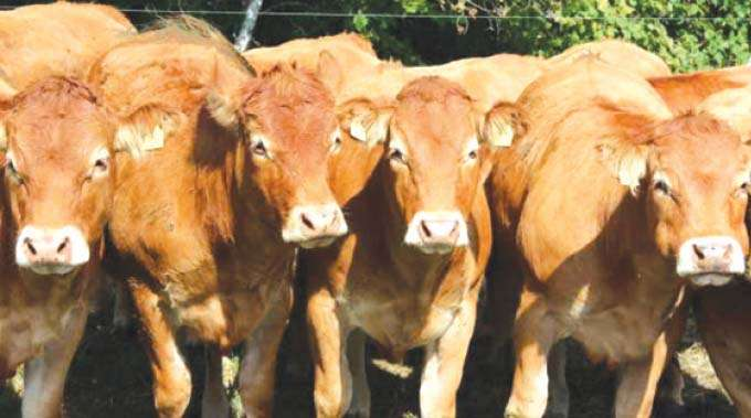 Rare disease kills cattle in Gutu