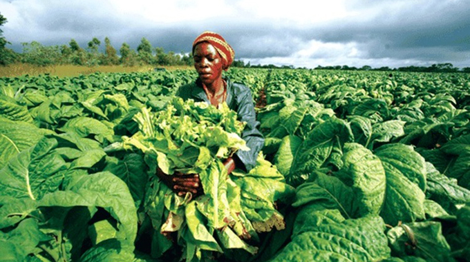 Company rips off tobacco farmers