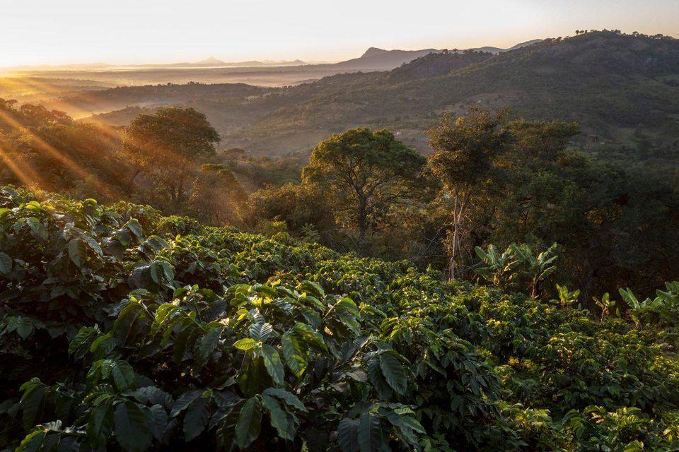 Plantation de café dans la vallée de la Honde dans l'est du Zimbabwe près de la frontière avec le Mozambique le 19 juin 2018. Coffee plantation in the Honde Valley in eastern Zimbabwe near the border with Mozambique on June 19, 2018.