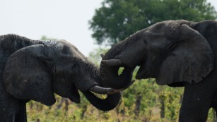 Zimbabwe sells elephants to China and Dubai for $2.7 million