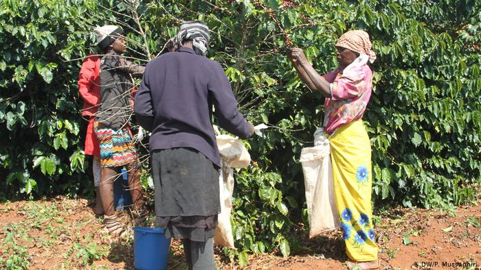 Women picking coffee on the Farfell Estate (DW/P. Musvanhiri)