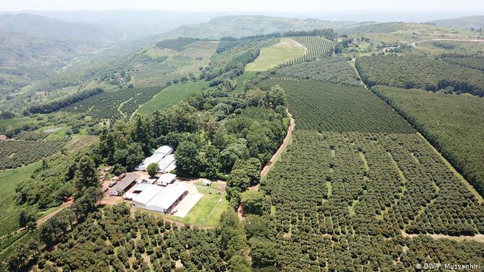 Farfell Coffee Estate, Chipinge (DW/P. Musvanhiri)