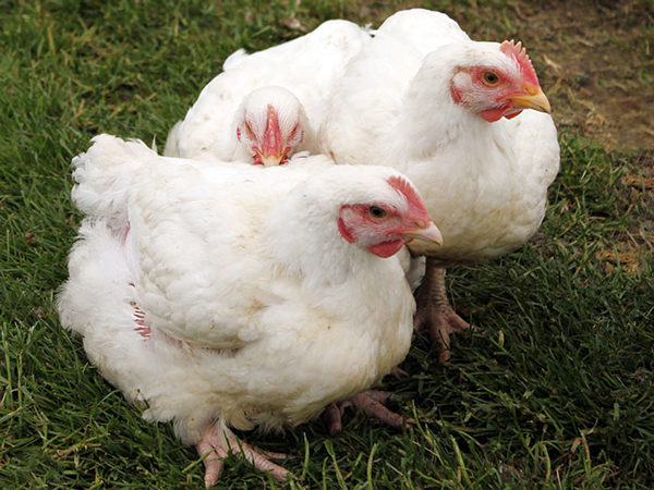 Poultry farmers feel the pinch - Zimbabwe Situation