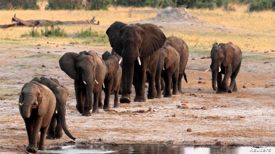 FILE - A herd of elephants walk past a watering hole in Hwange National Park, Zimbabwe, Oct. 14, 2014.