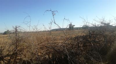 A view of the section of the field on which Shandu Gumede used to grow tobacco now lies derelict