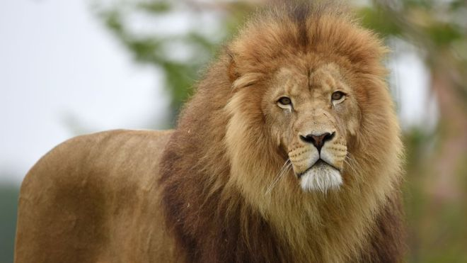 A male with thick mane.