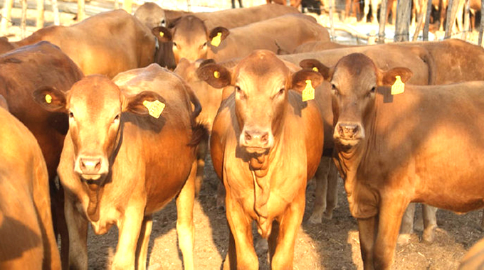 Nearly 1 200 cattle succumb to drought