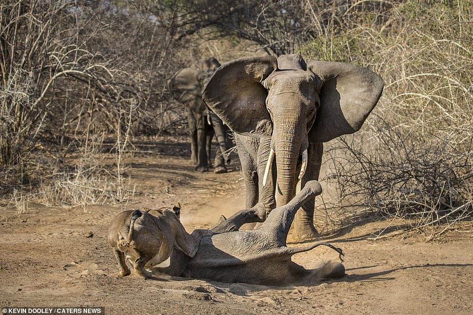 This is the moment a brave mother elephant saved her calf from being eaten after charging at two lionesses who had pinned it to the ground in Mana Pools National Park, Zimbabwe