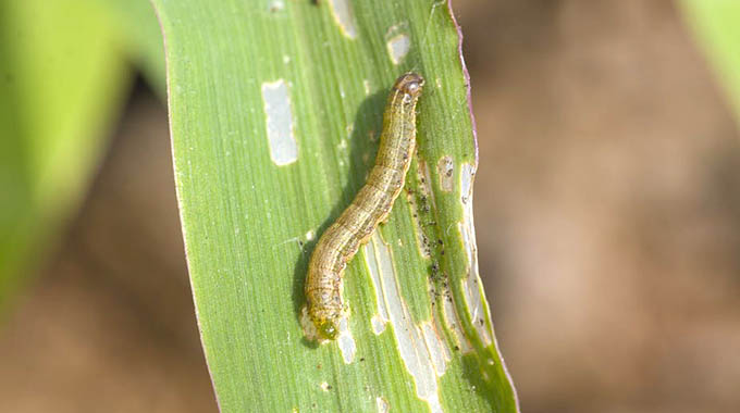 African armyworm ravages crops