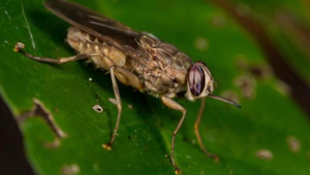 Tsetse flies infest an estimated 10 million square kilometres in sub-Saharan Africa