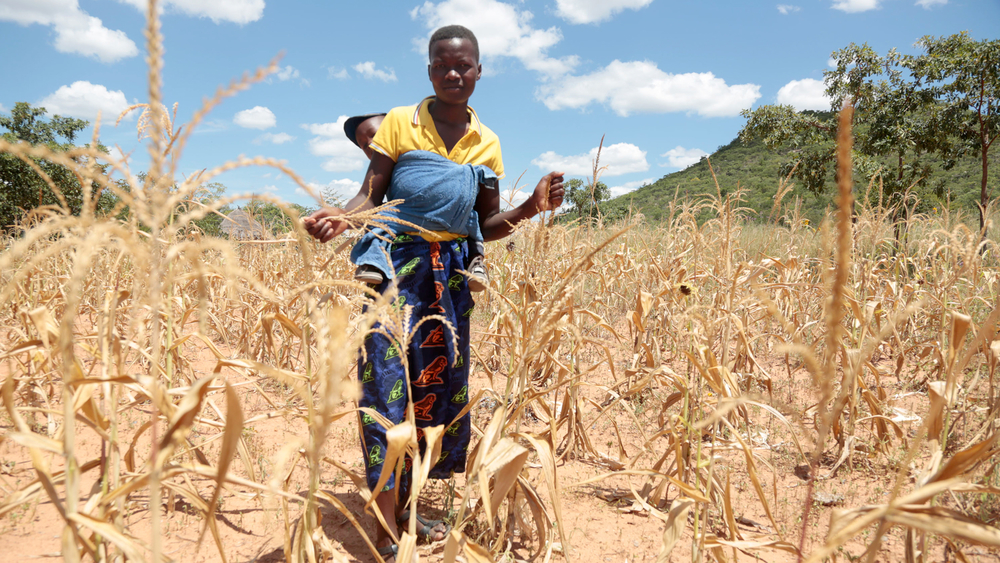 Last year's drought was one of the worst on record - shriveling maize in farmers' fields.