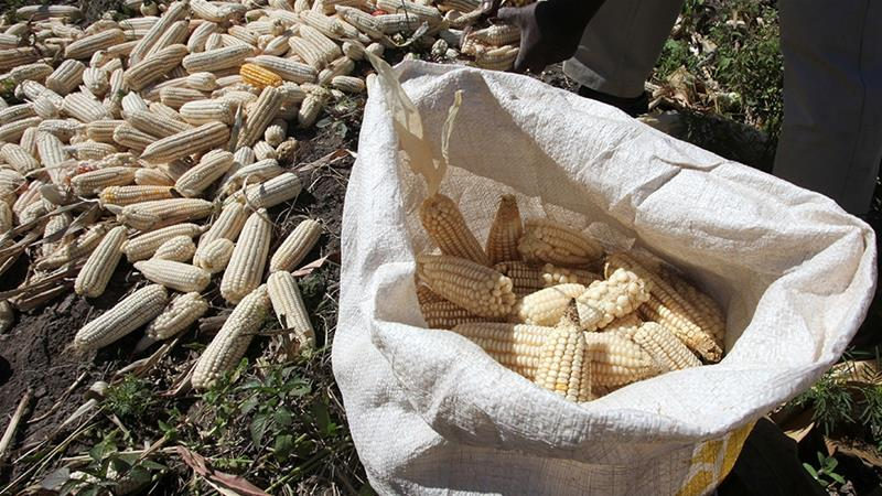 Zimbabwe's agricultural minister told officials this week that the country has only 100,000 tonnes of maize left in its strategic reserves - enough to last just over a month [File: Philimon Bulawayo/Reuters]