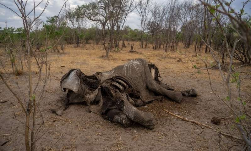 Taken on November 12, 2019 it shows the carcass of an elephant that succumbed to drought in the Hwange National Park, in Zimbabw