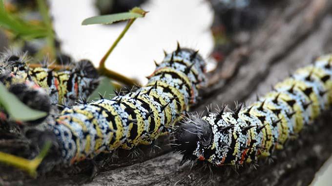Zim mopane worms for Europe