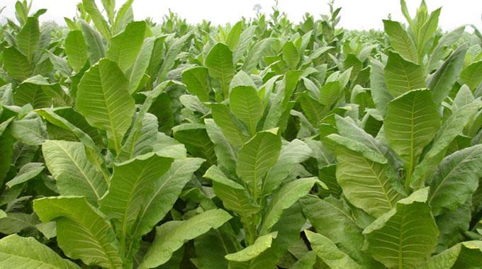 Zim records 50k tonnes tobacco exports