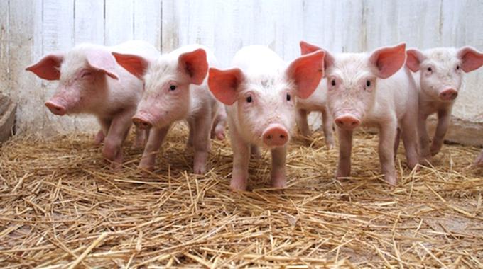 EDITORIAL COMMENT : Piggery scheme can transform livelihoods thumbnail