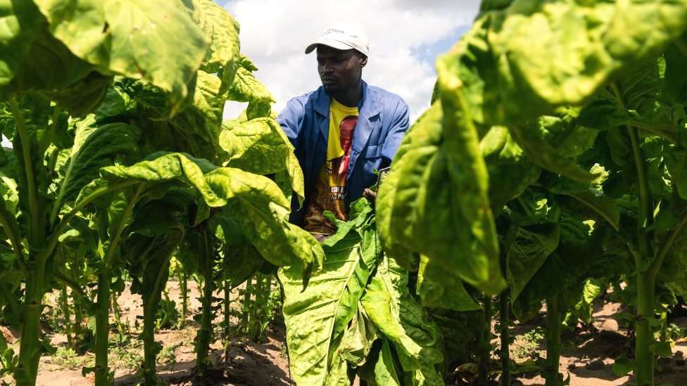 A worker on a tobacco farm in Zimbabwe wearing a T-shirt showing the face of Zimbabwean President Emmerson Mnangagwa