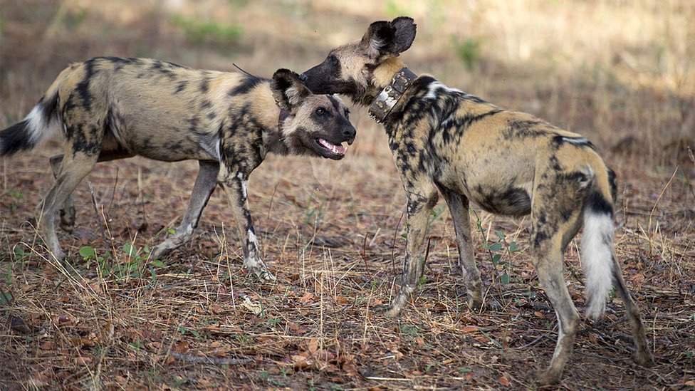 Painted dogs are pictured on November 19, 2012 in Hwange National Park in Zimbabwe.