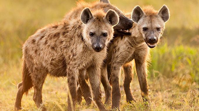 Hyenas attack, devour Chirumanzu man