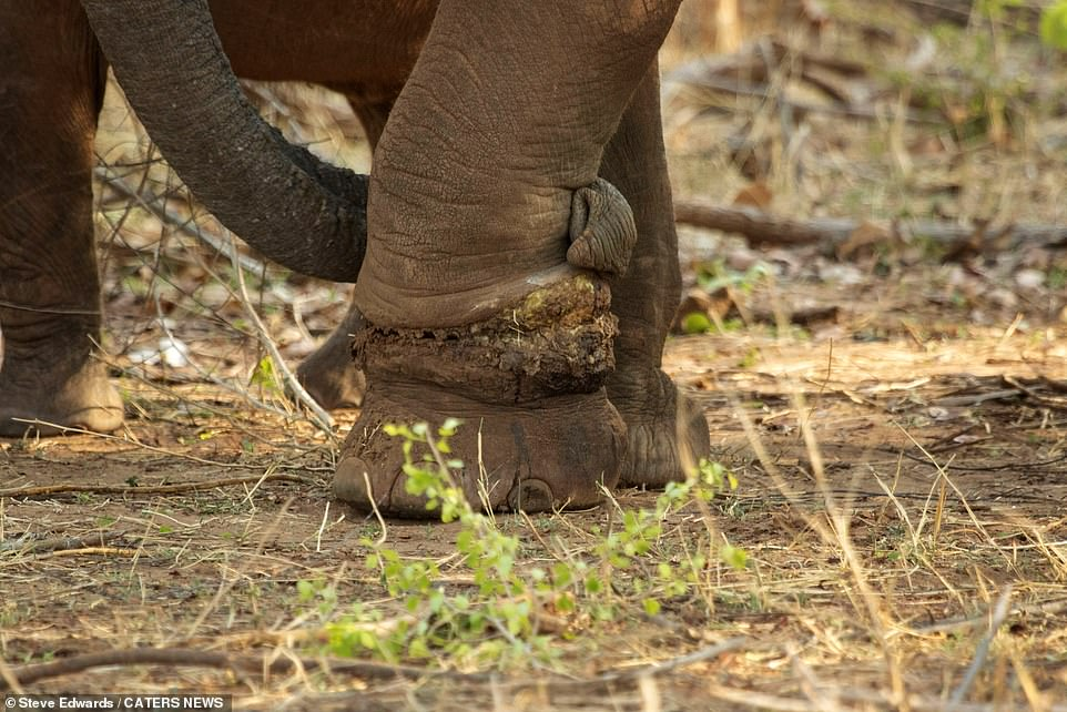 A trunk is wrapped lovingly around Martha's healing leg following the removal of a snare left by a poacher. Rescuer Norton said that it only took the animal a few minutes to come back around after being immobilised to remove the snare