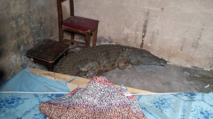 JUST IN: Villagers left in fear after huge croc crawls into home