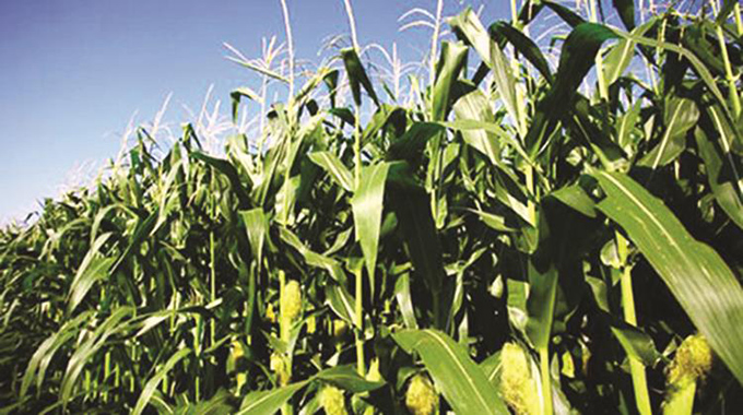 Centre develops new hybrid maize resistant to armyworm