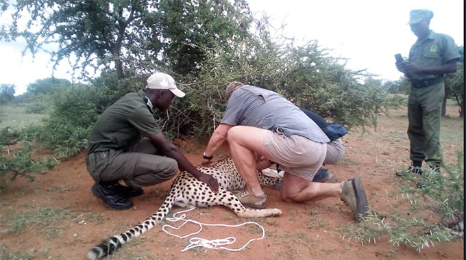 Panic as villagers mistake cheetahs for lions