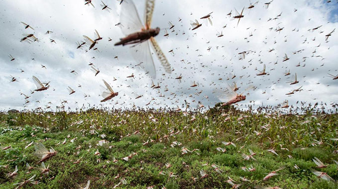 Zim braces for locusts threat